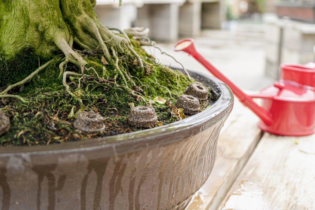 Les principaux engrais pour bonsaï et leurs caractéristiques