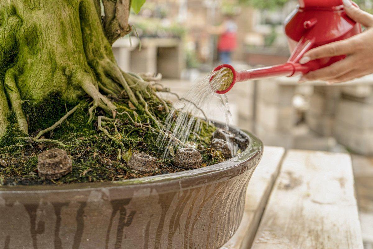 Los principales abonos para bonsái y sus características