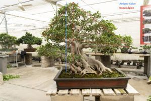 Apex d'un bonsaï Ficus retusa _ Mistral Bonsai
