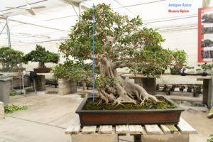 Ápice del bonsái Ficus