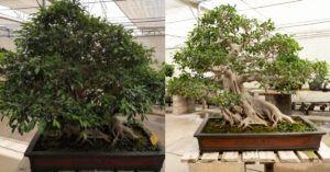 Ficus antes y después