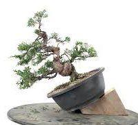 Trabajo de un bonsái Juniperus con Luis Alejandro