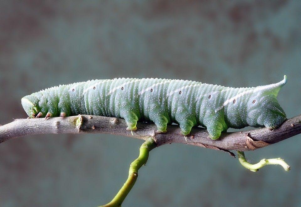Caterpillar pest in my bonsai. What can I do?