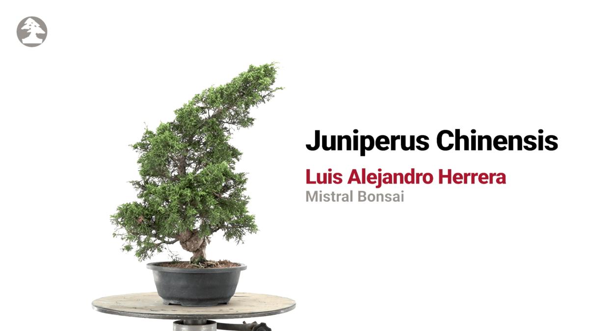 Travail d'un bonsaï Juniperus avec Luis Alejandro