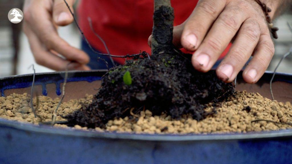 trasplante bonsái