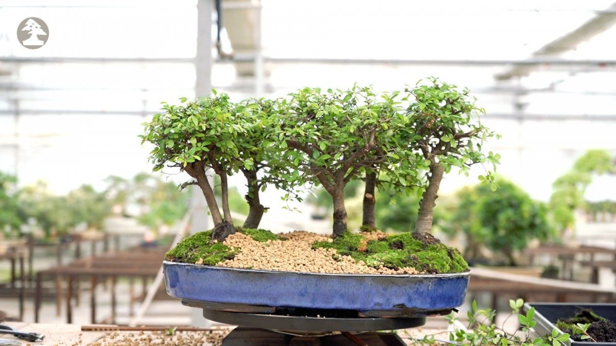 How to form your first bonsai forest in 8 steps