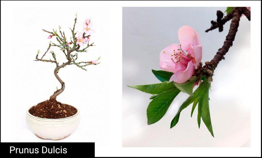 Prunus Dulcis Bonsai