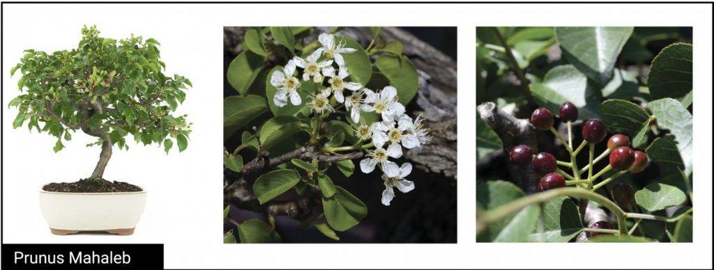 Prunus Mahaleb detalle