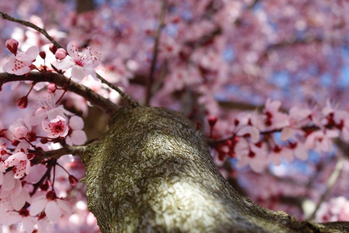 What do cherries, almonds and plums have in common? Discover the Prunus in the bonsai world.