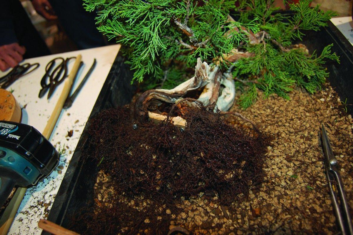 Los cuidados del bonsái después de un trasplante
