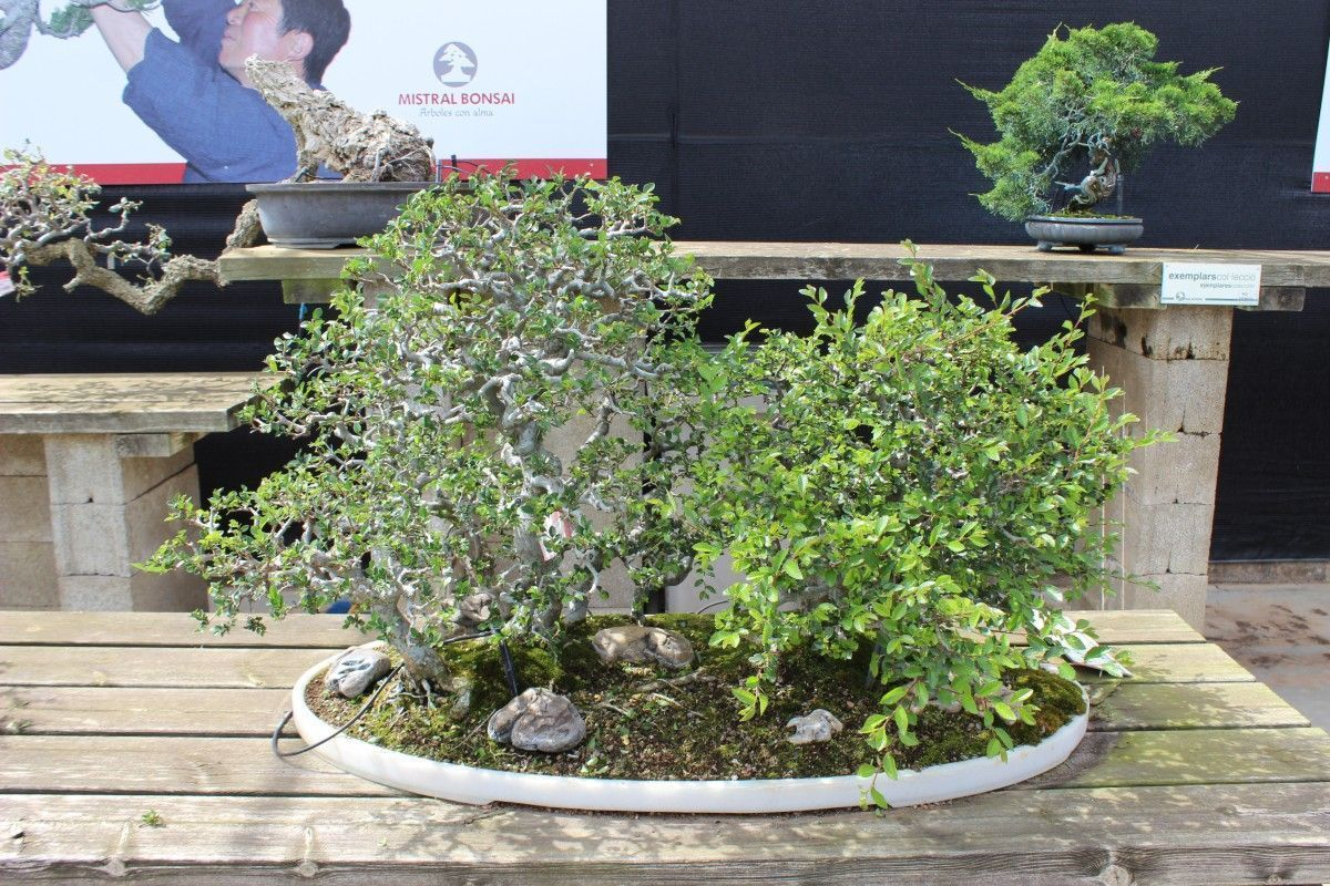 Basic care of bonsai Zelkova (Japanese Elm)