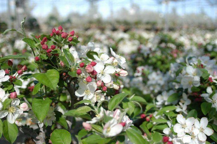 Los manzanos, un bonsái imprescindible en tu terraza.