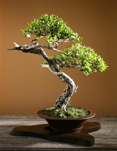 Conocarpus erctus - Mangle botoncillo