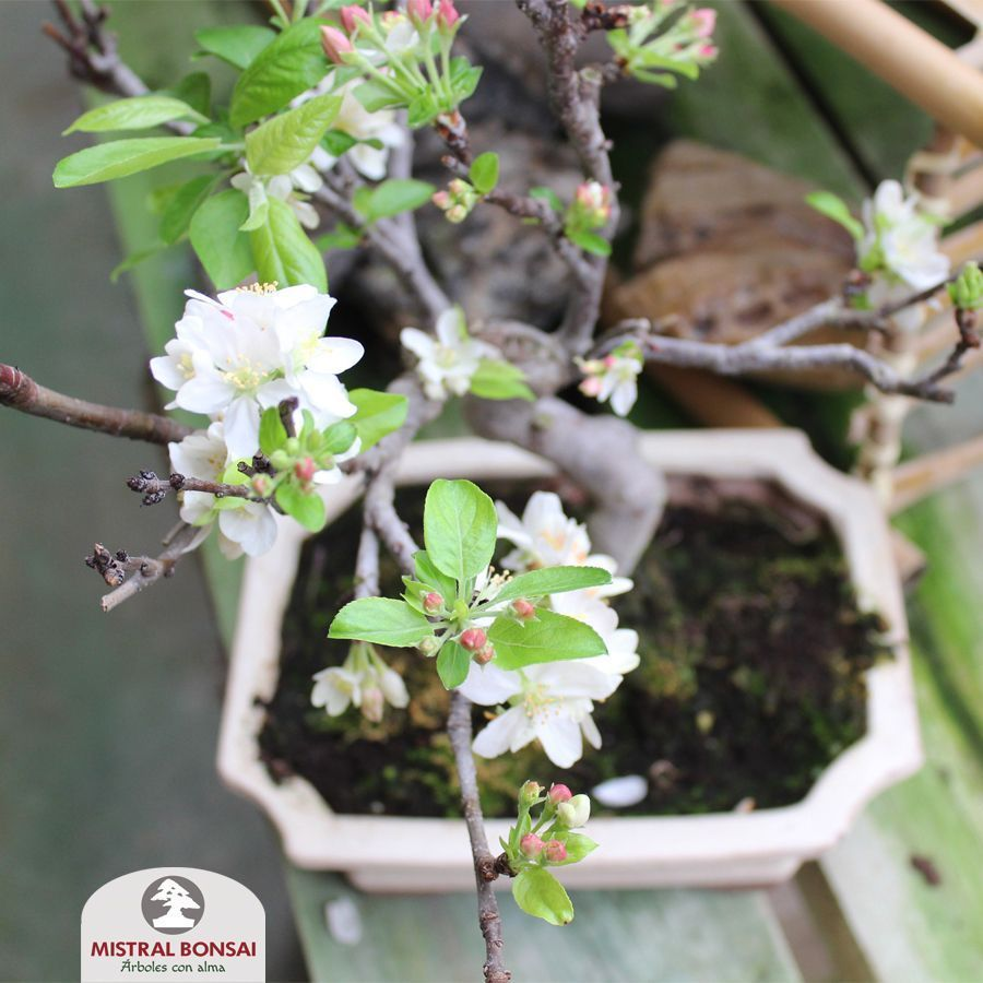 Malus bonsai blooming