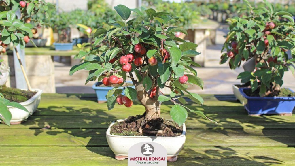 Apple tree bonsai with fruits