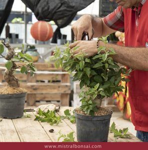 Pruning and pinching of a Malus Bonsai