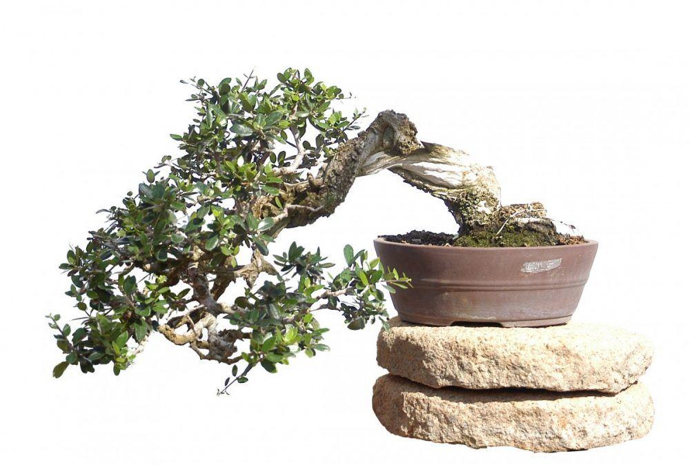 Los olivos son los primeros árboles que cultivan los aficionados al bonsái