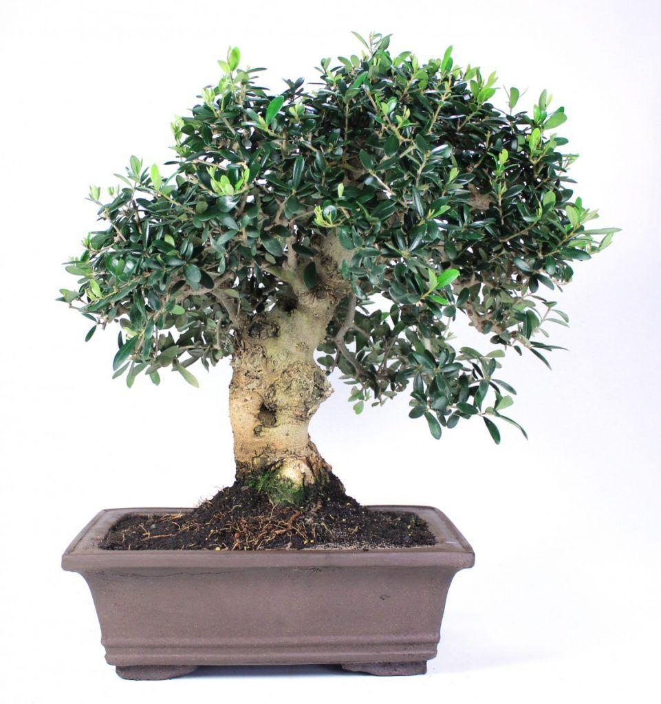 Wild olive tree bonsai