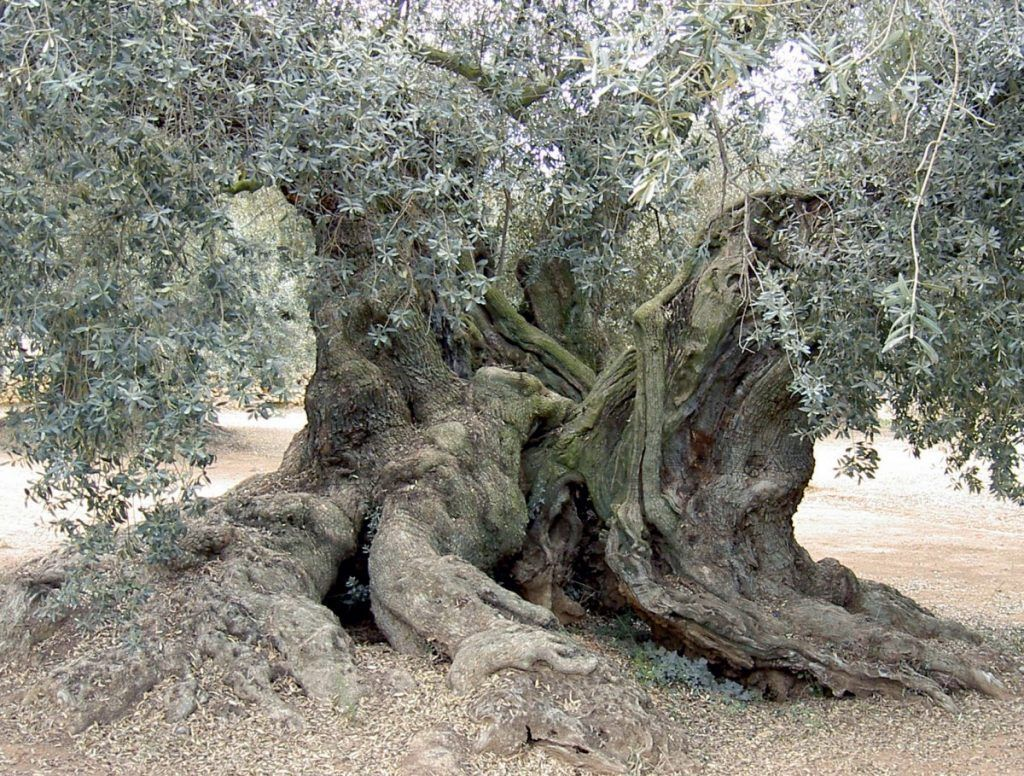 Millennial Olive Trees of the Arion Natural Museum of Ulldecona