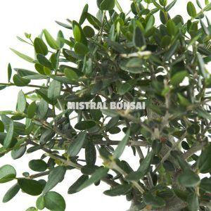 Olea europeae sylvestris bonsai detail