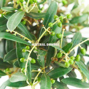 Olea europeae bonsai detail