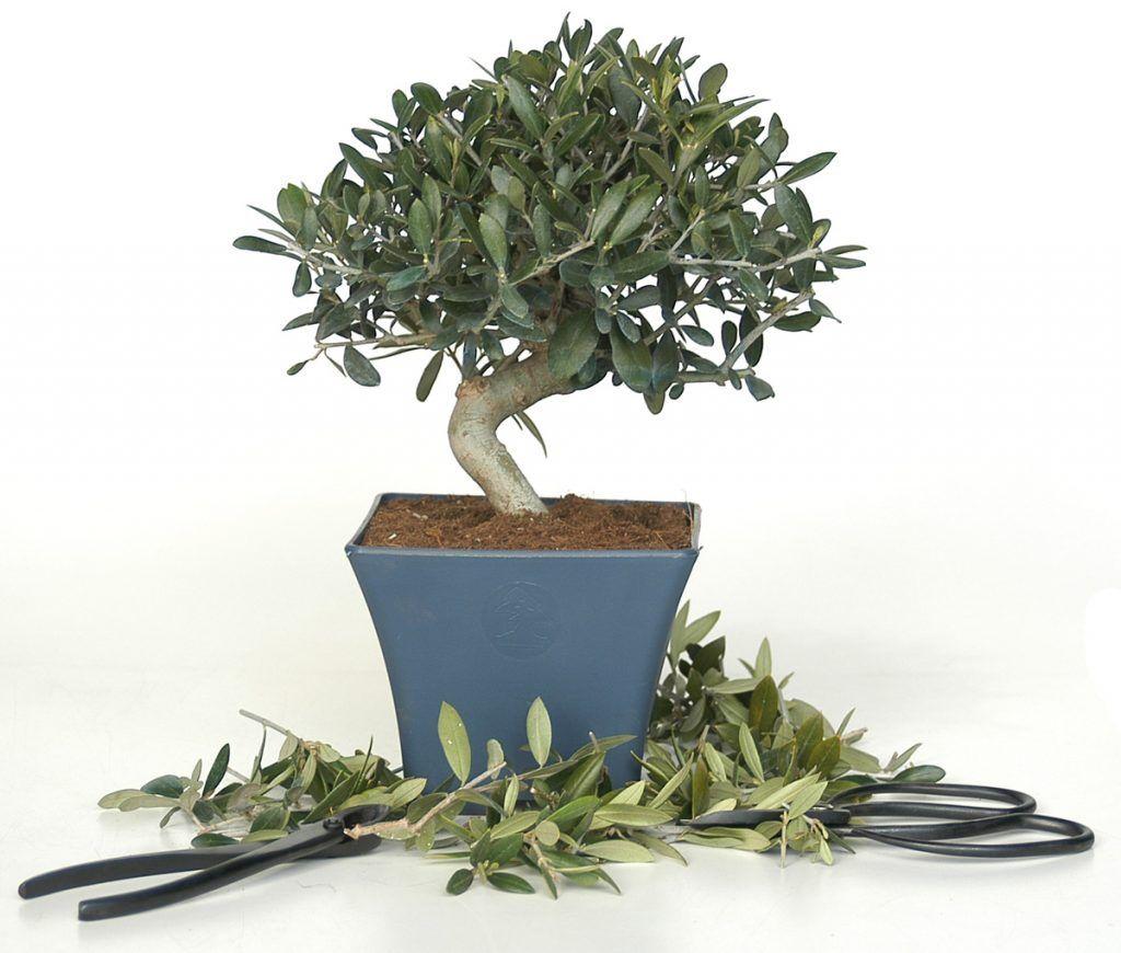 Poda y pinzado de un bonsái olivo