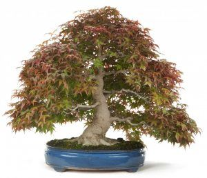 How To Care Of Your Maple Bonsai And Not Die Trying Mistral Bonsai