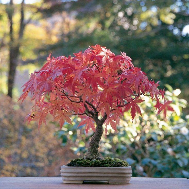 Cómo cuidar tu bonsái de arce y no morir en el intento