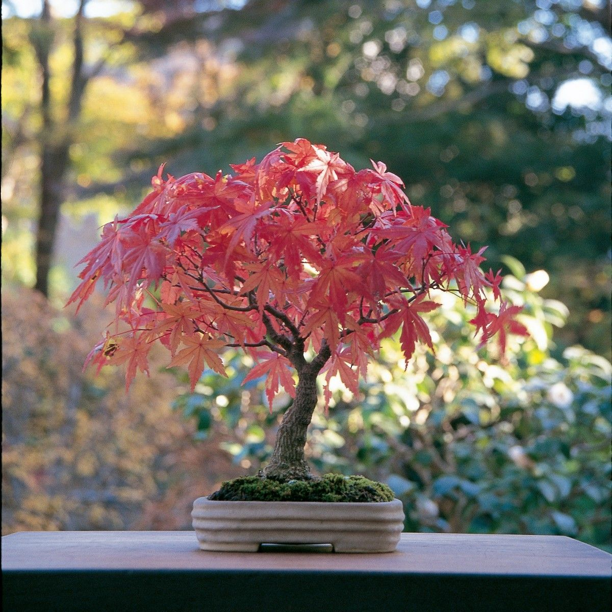 How to care for your maple bonsai and not die trying