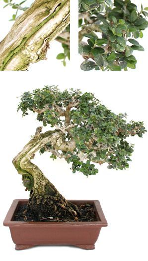 Olea bonsaï