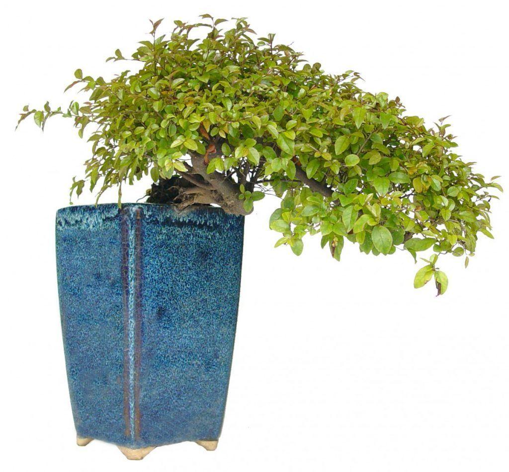 cascada bonsai sageretia
