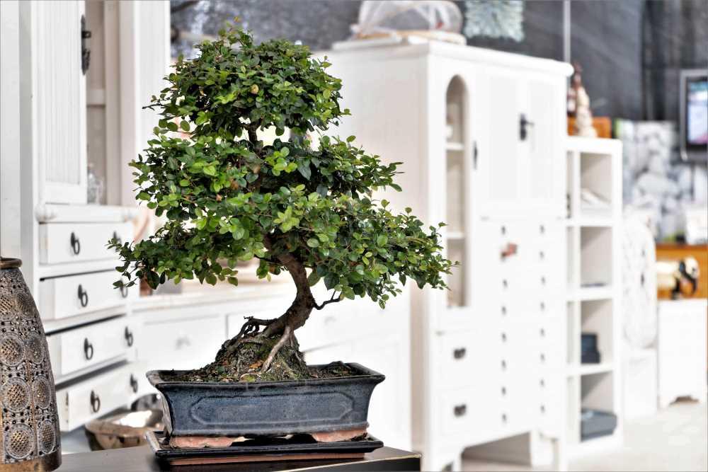 Le cerisier de Chine, un classique parmi les bonsaïs d'intérieur