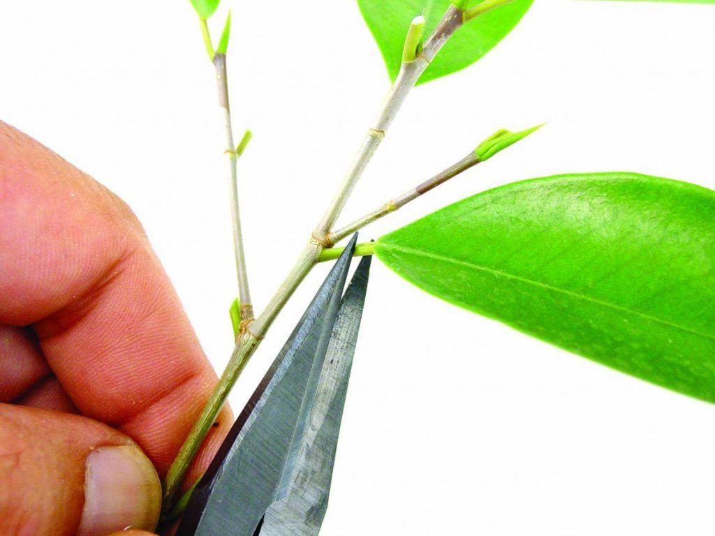 pétiole bonsaï