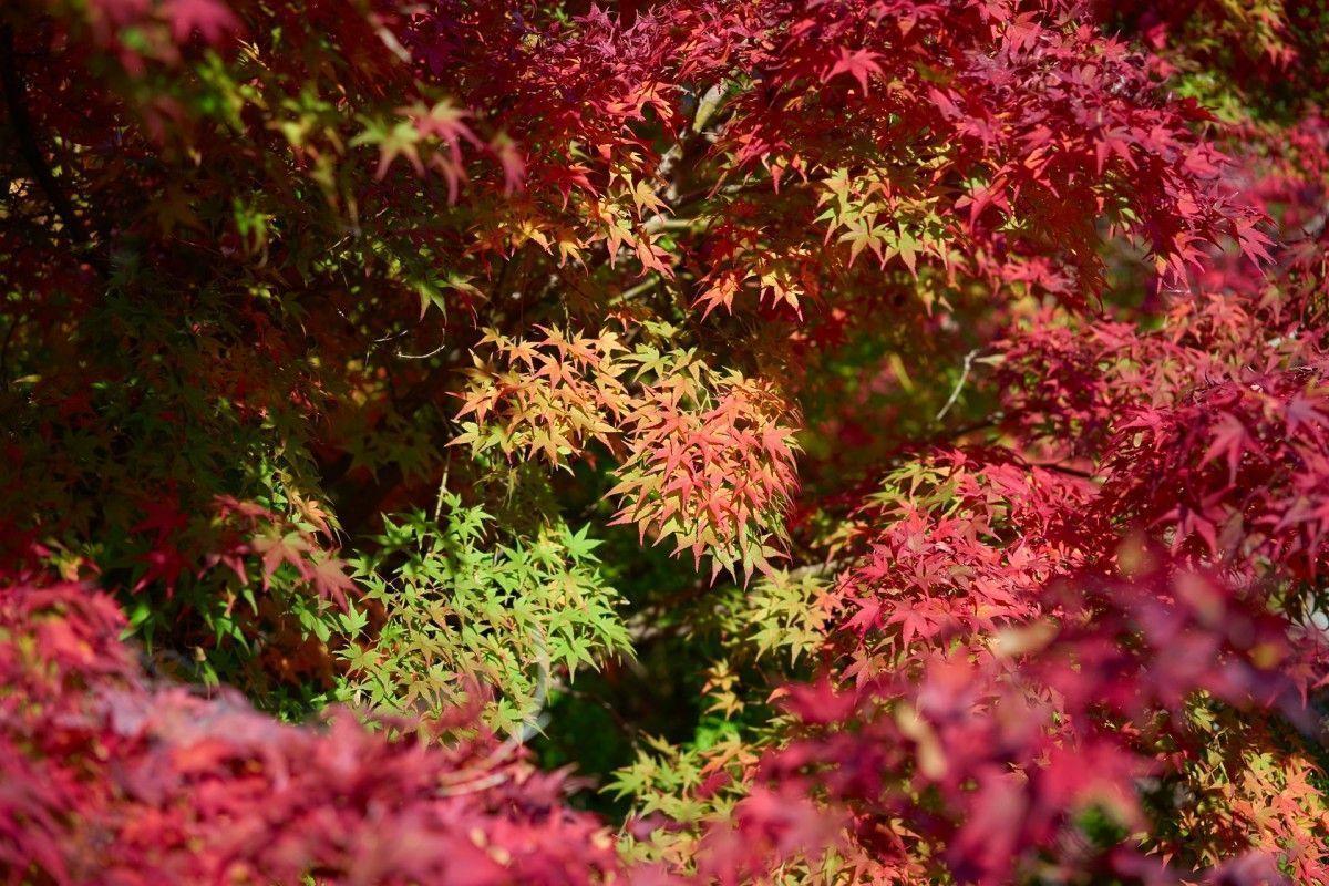¿Por qué cambian de color las hojas de los arces?