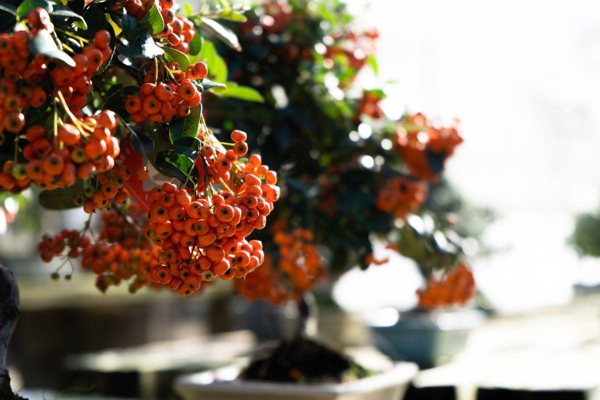 Cuidados básicos del bonsái Pyracantha