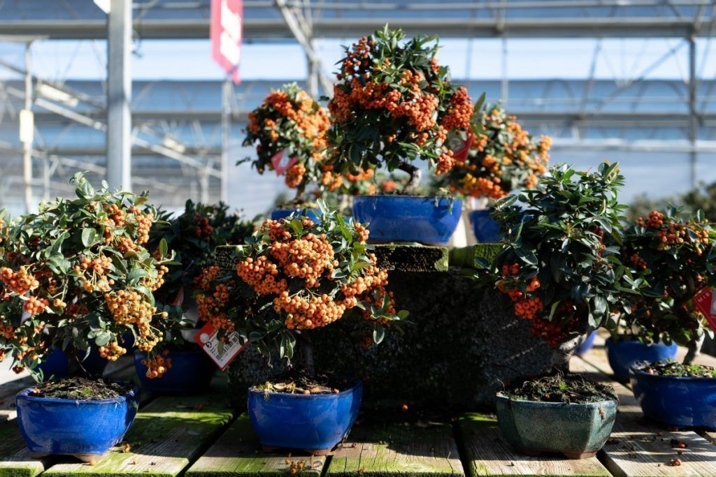 Pyracantha. Buisson ardent.