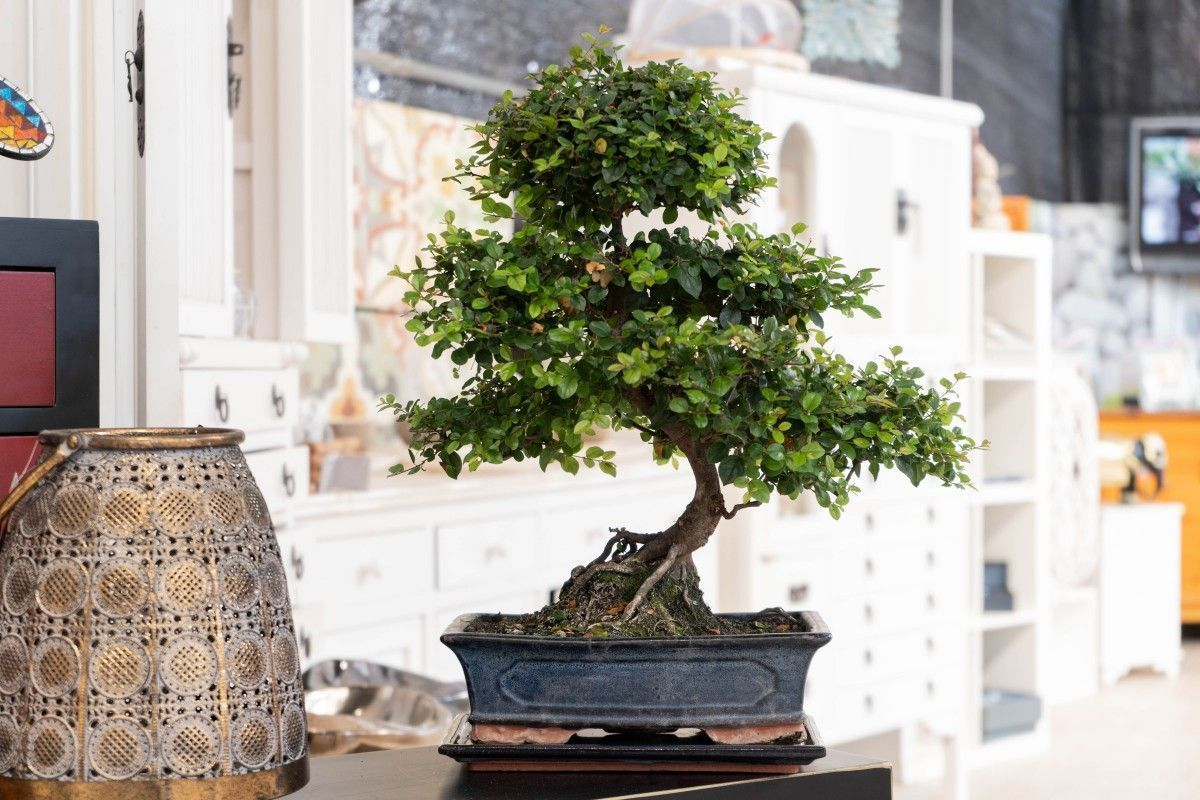 The Chinese plum, a classic of the indoor bonsai