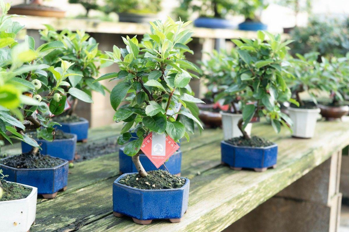 Cómo escoger mi primer bonsái