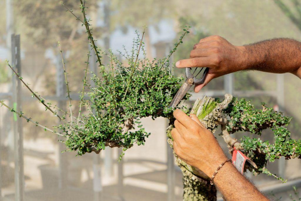 Entretien du bonsaï