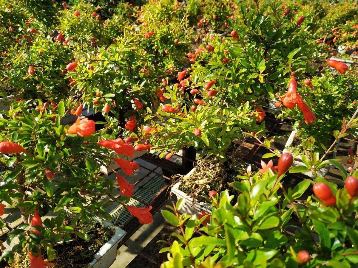 Le bonsaï de grenadier ; un grand classique du bonsaï