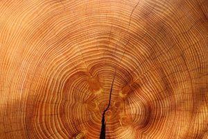 Anillo de un árbol