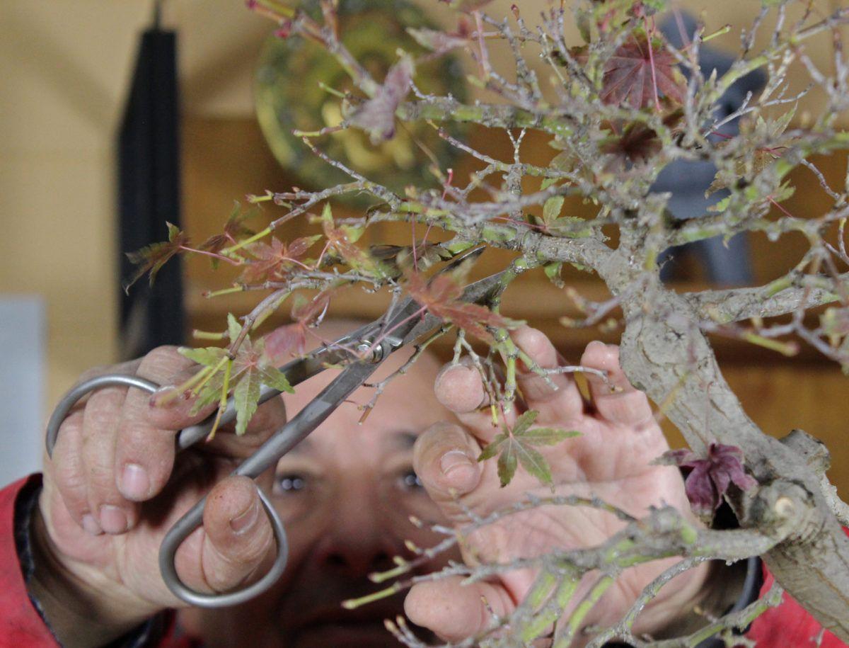 La taille d'automne pour nos bonsaï