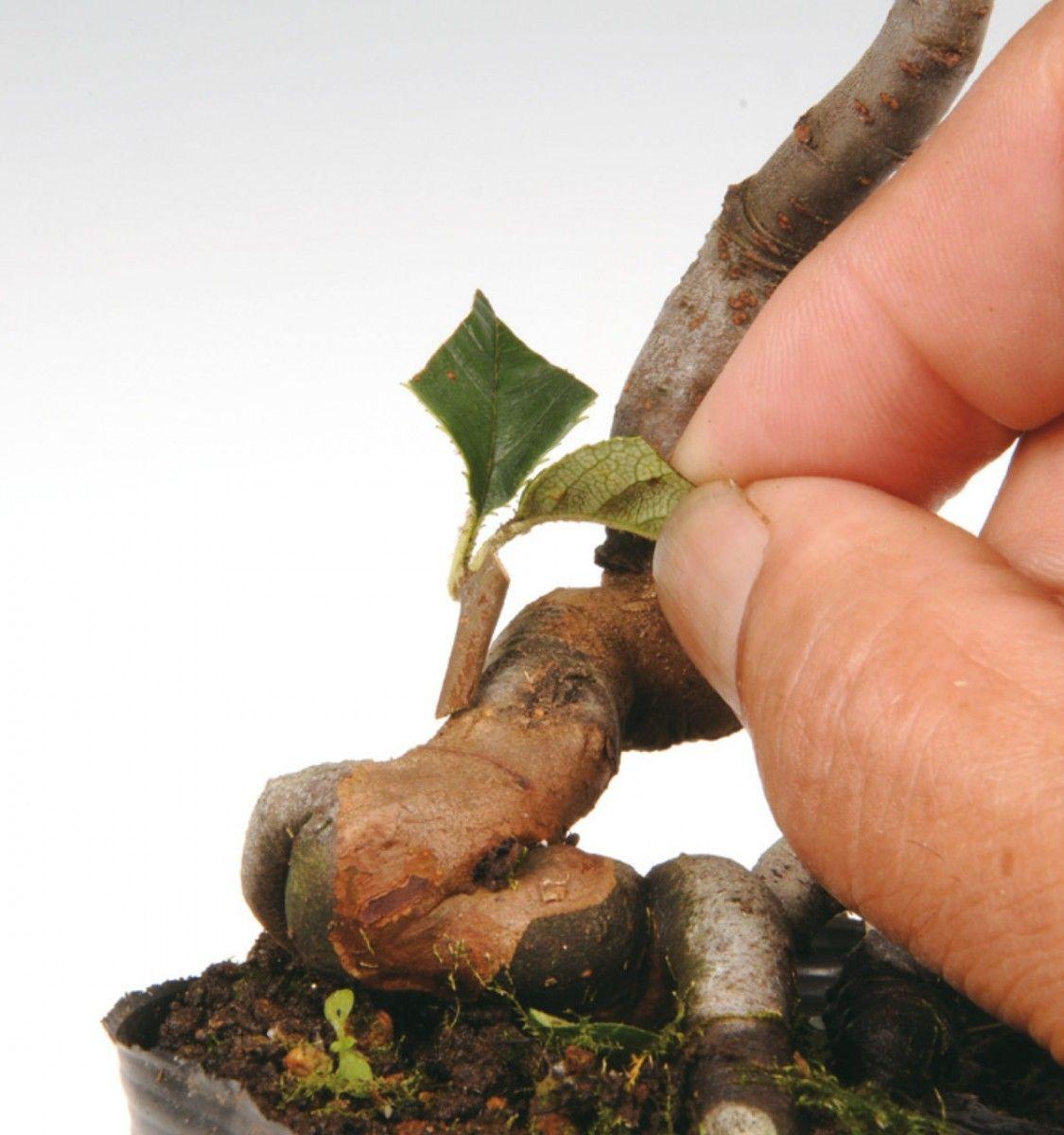 Calendrier approximatif de greffe pour les bonsaï