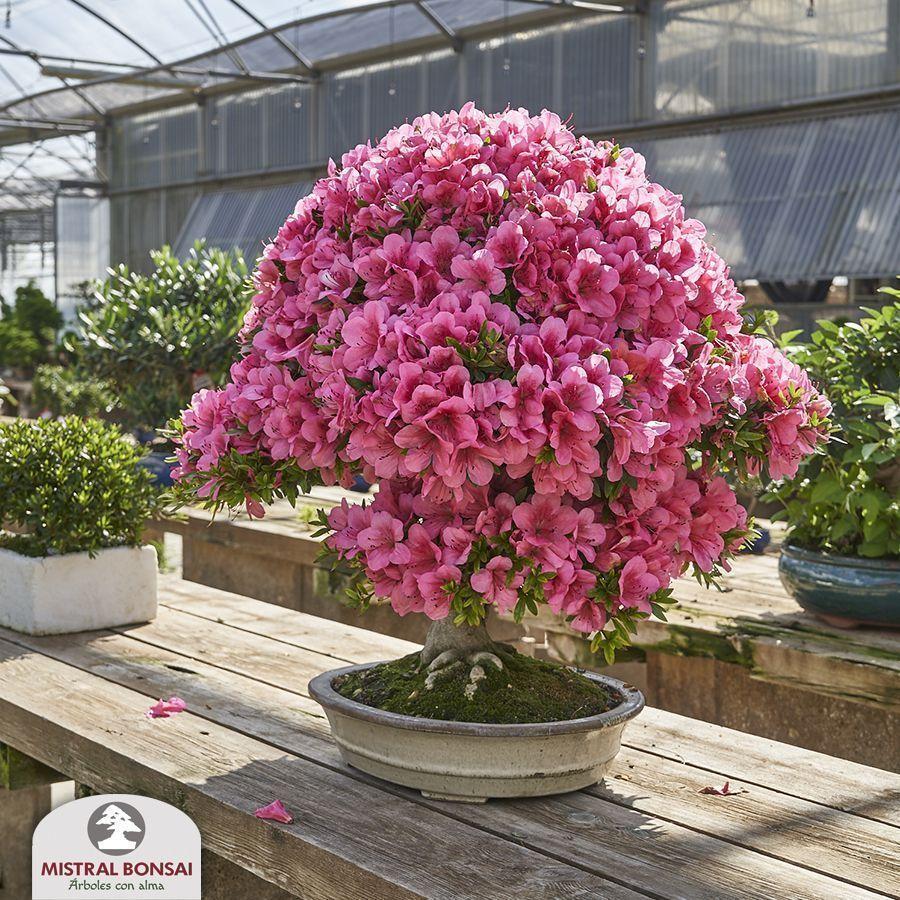 Comment profiter des fleurs de l'azalée plus longtemps