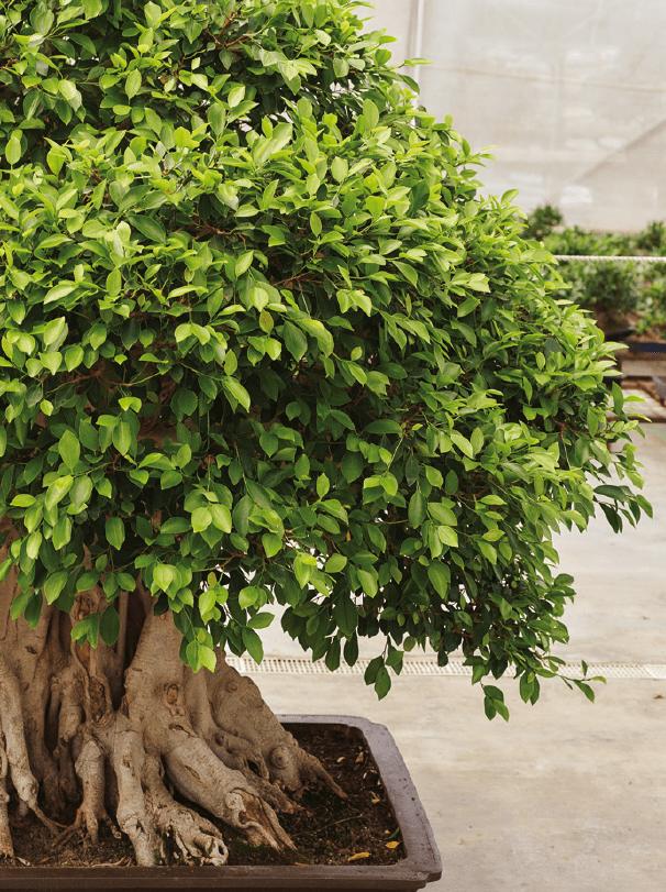 Éclaircissement du bonsaï Ficus retusa