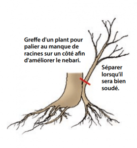 Greffe d'approximation.