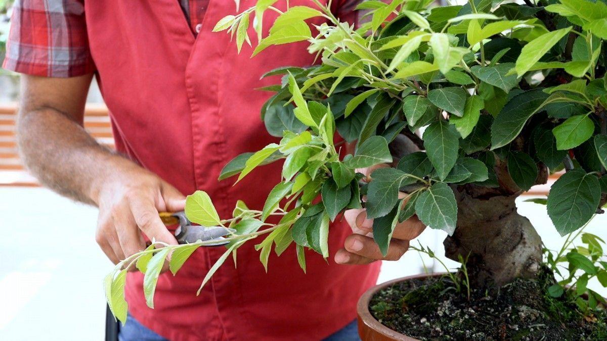 Pincement en verd : Comment puis-je gagner densité dans mon bonsaï Malus ?