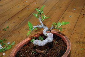 Après la section de poussesdu bonsaï