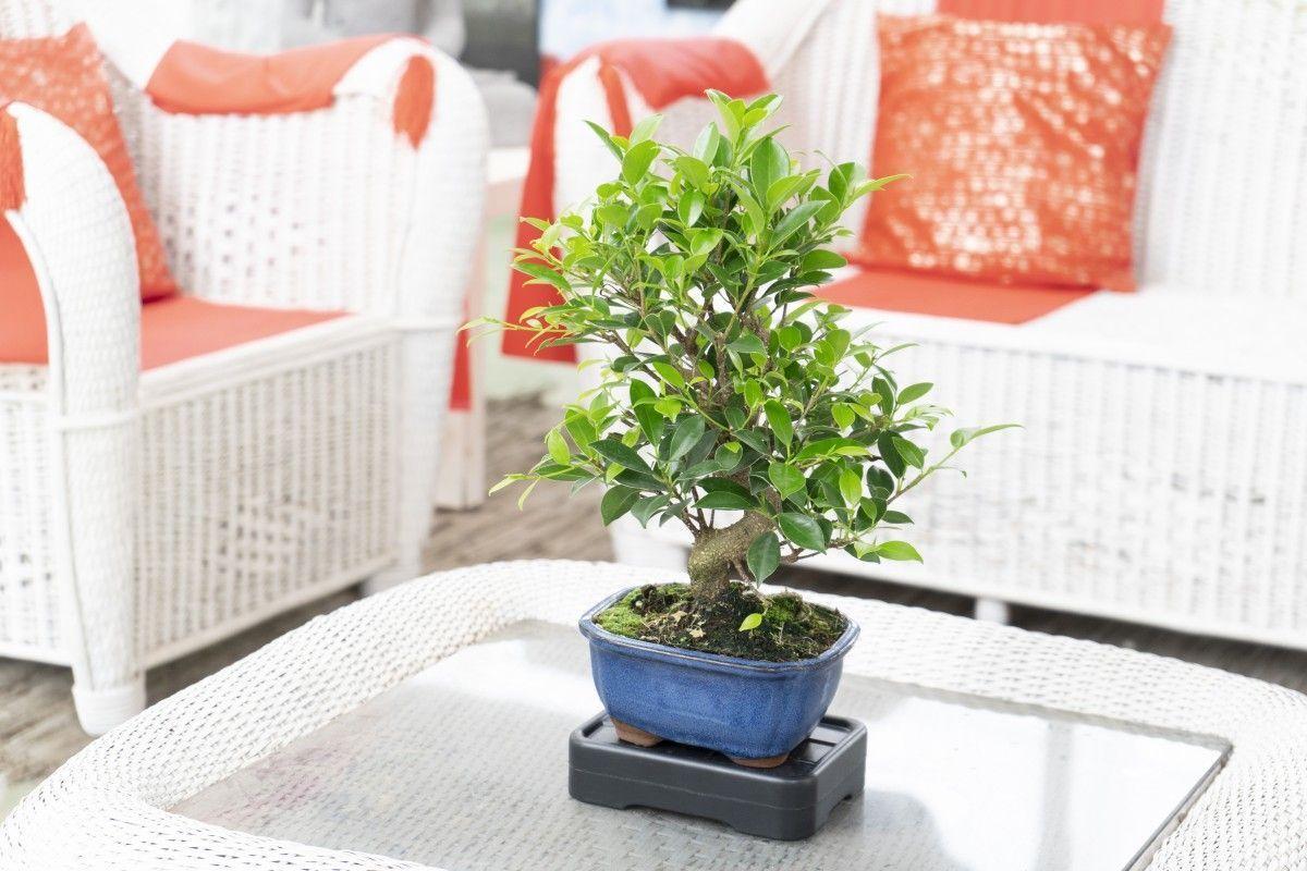 Cómo cuidar tu bonsái cuando te vas de vacaciones