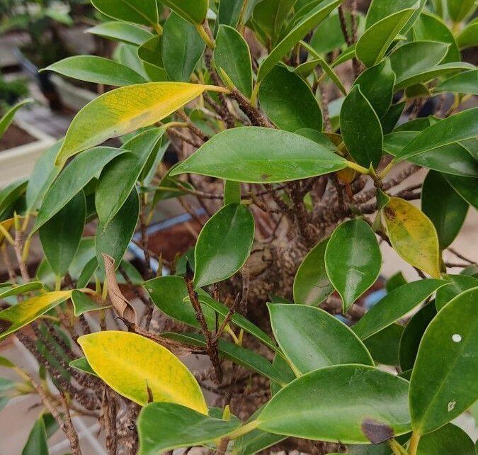 ¿Por qué se le ponen las hojas amarillas a mi bonsái?